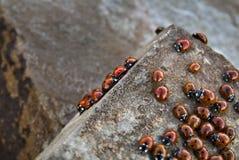 Onzelieveheersbeestjes Stock Foto