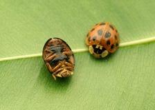 Onzelieveheersbeestjes Stock Afbeelding