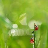 Onzelieveheersbeestjes Stock Fotografie