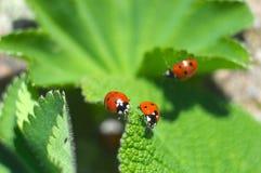 Onzelieveheersbeestjes Royalty-vrije Stock Foto