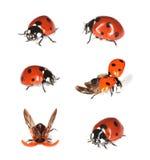Onzelieveheersbeestjes die op wit worden geïsoleerdh. Royalty-vrije Stock Foto
