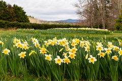 Oodles of daffodils adorn the hills at Gibbs Gardens in Georgia. Millions of jonquils adorn the hills during spring at Gibbs Gardens with a mountain in the royalty free stock image