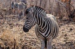 Oog aan Oog met een Vrouwelijke Zebra Royalty-vrije Stock Afbeelding