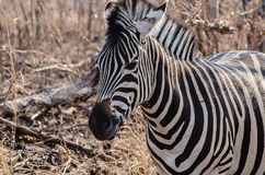 Oog aan Oog met een Vrouwelijke Zebra Stock Foto
