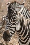 Oog aan Oog met een Vrouwelijke Zebra Stock Afbeeldingen