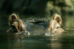 Oog-aan-oog met hippo Stock Foto's