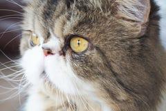 Oog Perzische kat Stock Foto's