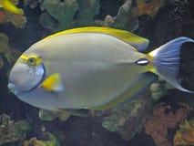 oog streep surgeonfish stock afbeeldingen