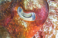 Oog van cattlefish Stock Foto