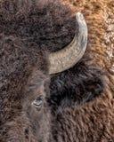 Oog van de buffels Royalty-vrije Stock Afbeeldingen