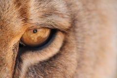 Oog van de Leeuw Royalty-vrije Stock Foto