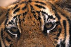 Oog van de tijger Royalty-vrije Stock Foto's