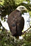 Oog van Eagle Royalty-vrije Stock Fotografie