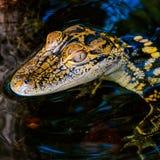Oog van een Babyalligator stock afbeeldingen