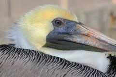 Oog van een pelikaan Royalty-vrije Stock Afbeeldingen
