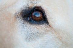 Oog van een retrieverhond Stock Afbeeldingen