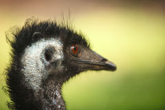 Oog van een Struisvogel Stock Foto