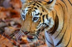 Oog van een tijger Royalty-vrije Stock Afbeelding