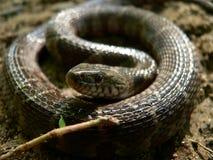 Oog van het Serpent Stock Afbeeldingen