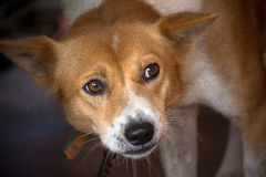 Oog van hond Royalty-vrije Stock Foto's