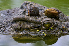Oog van krokodil Stock Foto's