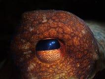 Oog van Octopus Royalty-vrije Stock Fotografie
