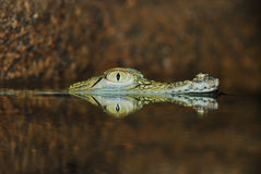 Oog van ondergedompelde krokodil Stock Foto's