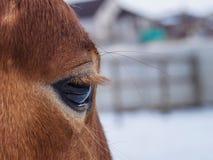 Oog van rood paard stock afbeeldingen