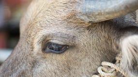 Oogbuffels Royalty-vrije Stock Afbeeldingen