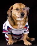 De hond van oogglazen Royalty-vrije Stock Foto's