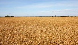 Oogst-2012. Het gebiedsachtergrond van de tarwe. Stock Foto