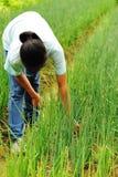 oogst groene ui Royalty-vrije Stock Afbeeldingen