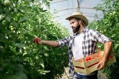 Oogst het rijpen van tomaten in een serre stock afbeeldingen
