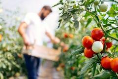 Oogst het rijpen van tomaten in een serre Stock Foto's