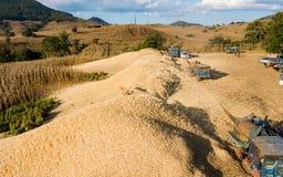 Oogst op Graangebied in Thailand royalty-vrije stock fotografie