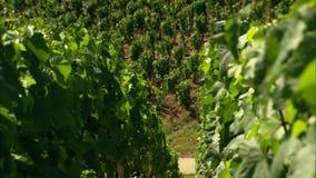 Oogst op wijngaard in Frankrijk stock videobeelden