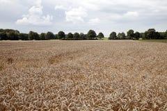 Oogst rijpe korrel op het landbouwbedrijfgebied Stock Foto's