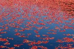 Oogst van Amerikaanse veenbessen in het Water in Canada stock afbeeldingen