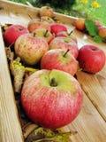 Oogst van appelen Stock Afbeelding