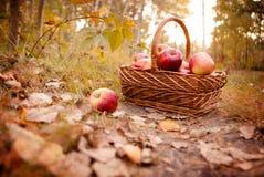 Oogst van appelen royalty-vrije stock foto