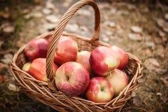 Oogst van appelen royalty-vrije stock foto's