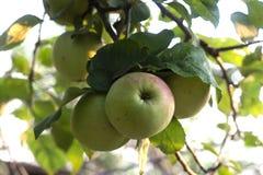 Oogst van appelen Stock Fotografie