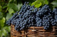 Oogst van blauwe druif Royalty-vrije Stock Afbeeldingen