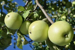 oogst van groene rijpe appelen Stock Fotografie