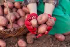 Oogst van groente Stock Fotografie
