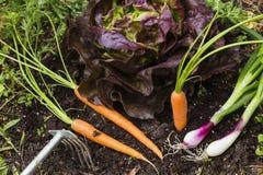 Oogst van groenten in een tuin Stock Afbeelding