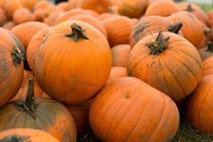 Oogst van grote pompoenen op het gebied oktober Stock Afbeeldingen