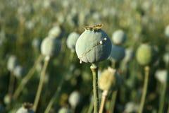 Oogst van opium van papaver Stock Foto's