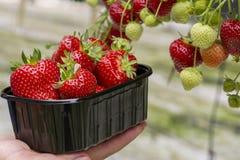 Oogst van verse smakelijke rijpe rode aardbeien die op aardbeilandbouwbedrijf groeien stock foto's