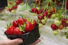 Oogst van verse smakelijke rijpe rode aardbeien die op aardbeilandbouwbedrijf groeien royalty-vrije stock foto
